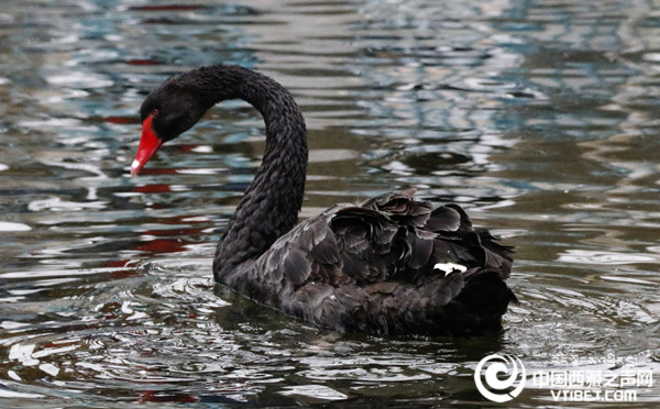 Black swans---ballet dancers in water